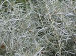 Photo Helichrysum, Curry Plant, Immortelle leafy ornamentals , silvery