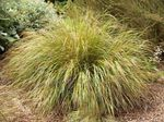 Pheasant's Tail Grass, Feather Grass, New Zealand wind grass