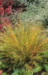 Photo Pheasant's Tail Grass, Feather Grass, New Zealand wind grass characteristics