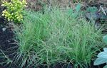 Photo Ornamental Plants Buffalo Grass cereals (Buchloe), light blue