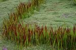 Photo Ornamental Plants Cogon Grass, Satintail, Japanese Blood Grass cereals (Imperata cylindrica), red