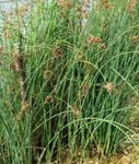 Photo The true Bulrush characteristics