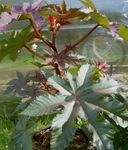 Photo Castor Bean, Caster Oil Plant, Mole Bean, Higuera Infernal characteristics
