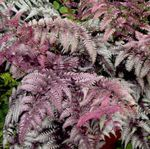 Photo Lady fern, Japanese painted fern characteristics