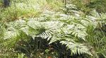 Photo Ornamental Plants Western Bracken Fern, Brake, Bracken, Northern Bracken Fern, Brackenfern (Pteridium aquilinum), green
