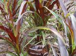 Photo Chinese fountain grass, Pennisetum characteristics