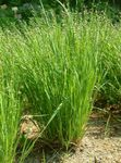 Photo Ornamental Plants Nickendes Perlgras, Mountain Melic Grass cereals (Melica nutans), light green