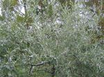 Pendulous willow-leaved pear, Weeping silver pear