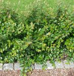 Photo Hedge Cotoneaster, European Cotoneaster characteristics