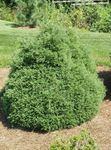 Photo Atlantic White Cedar, Hinoki False Cypress characteristics