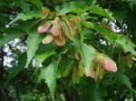 Photo Ornamental Plants Maple (Acer), green