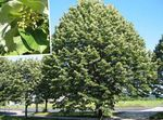 Photo Common Lime, Linden Tree, Basswood, Lime Blossom, Silver Linden characteristics