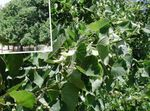 Photo Ornamental Plants Common Lime, Linden Tree, Basswood, Lime Blossom, Silver Linden (Tilia), green