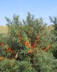 Photo Ornamental Plants Sea Buckthorn, Sea Berry (Hippophae), silvery