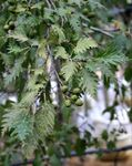 Photo Ornamental Plants Common alder (Alnus), silvery