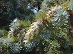 Photo Douglas Fir, Oregon Pine, Red Fir, Yellow Fir, False Spruce characteristics