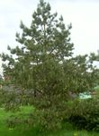 Photo Ornamental Plants Pine (Pinus), green