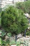 Photo Ornamental Plants Pine (Pinus), dark green