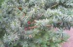 Photo English yew, Canadian Yew, Ground Hemlock characteristics