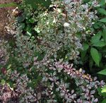 Photo Ornamental Plants Barberry, Japanese Barberry (Berberis thunbergii), multicolor
