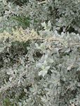 Photo Sea Orache, Mediterranean Saltbush characteristics