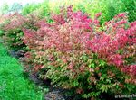 Photo Ornamental Plants Euonymus , red