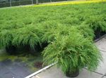 Siberian Carpet Cypress