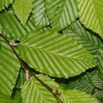 Photo Ornamental Plants Hornbeam (Carpinus betulus), green