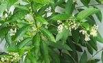 Photo Cestrum characteristics