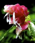 Photo House Flowers Red Shrimp Plant shrub (Beloperone guttata), white