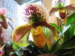 Photo Slipper Orchids characteristics