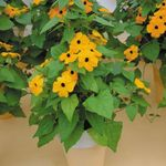Photo House Flowers Black eye Susan liana (Thunbergia alata), yellow
