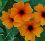 Photo House Flowers Black eye Susan liana (Thunbergia alata), orange