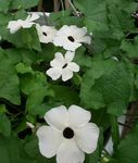 Photo House Flowers Black eye Susan liana (Thunbergia alata), white