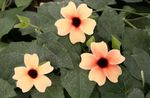 Photo House Flowers Black eye Susan liana (Thunbergia alata), pink