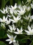 Photo Drooping Star of Bethlehem characteristics