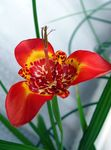 Photo Tigridia, Mexican Shell-flower characteristics
