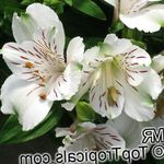 Photo Peruvian Lily characteristics