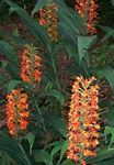 Photo Hedychium, Butterfly Ginger characteristics