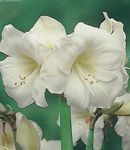 Photo House Flowers Amaryllis herbaceous plant (Hippeastrum), white