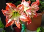 Photo Amaryllis characteristics