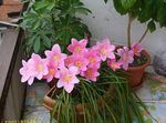 Photo House Flowers Rain Lily,  herbaceous plant (Zephyranthes), pink