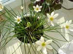 Photo House Flowers Rain Lily,  herbaceous plant (Zephyranthes), white