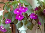 Photo Magic Flower, Nut Orchid hanging plant (Achimenes), lilac