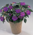 Photo Magic Flower, Nut Orchid hanging plant (Achimenes), purple