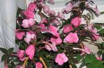 Photo Magic Flower, Nut Orchid hanging plant (Achimenes), pink