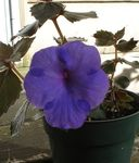 Photo Magic Flower, Nut Orchid hanging plant (Achimenes), dark blue
