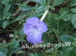 Photo Magic Flower, Nut Orchid hanging plant (Achimenes), light blue