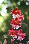 Photo House Flowers Vuylstekeara-cambria herbaceous plant , red