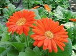 Photo House Flowers Transvaal Daisy herbaceous plant (Gerbera), orange